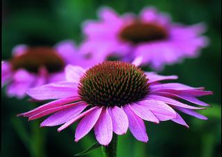 An echinacea flower.