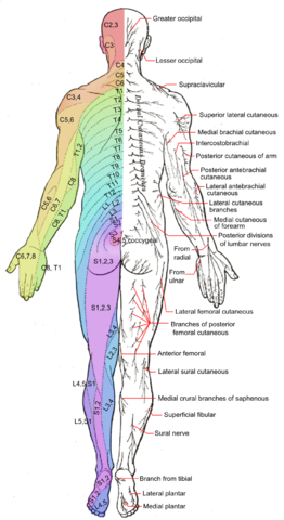 Map of posterior dermatomes.