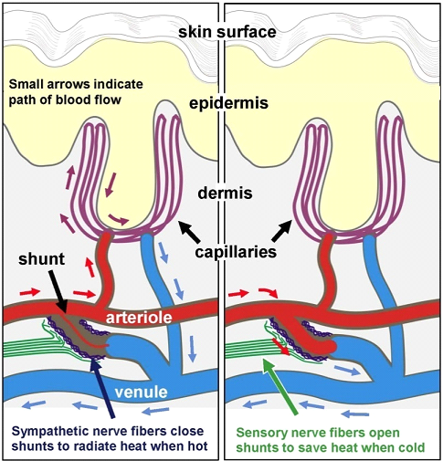 A diagram depicting the arteriole-venule shunt (AVS) and what it does.