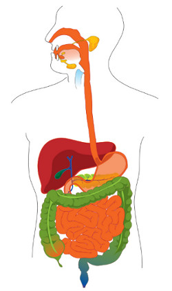 An image of the digestive tract.