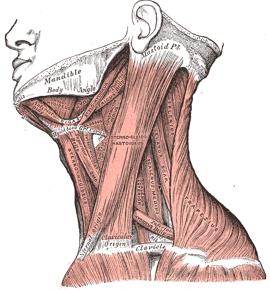 Gray's Anatomy image of the lateral neck
